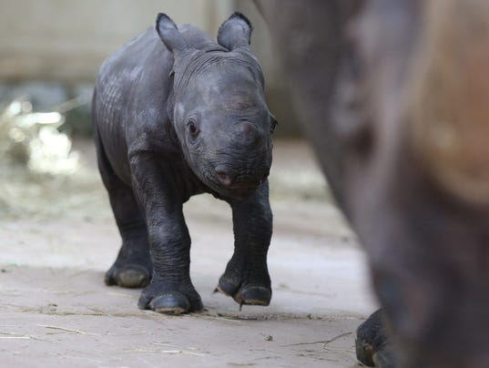 rare rhino born at Blank Park Zoo