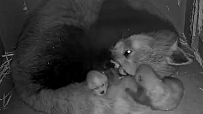 Two baby red panda cubs are shown with their mom, Ember, in their Lee Richardson Zoo exhibit.