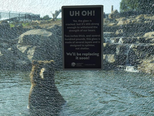 A Grizzly bear stands in water behind cracked glass at the Oakland Zoo in California. A child visitor cracked the window at the zoo's bear exhibit and officials say there are no safety concerns.
