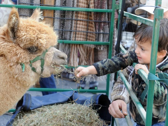 Gabriel Frysinger reaches out to feed one of the alpacas from Painted Spring Farm during the 2014 Go Green in the City event in York.