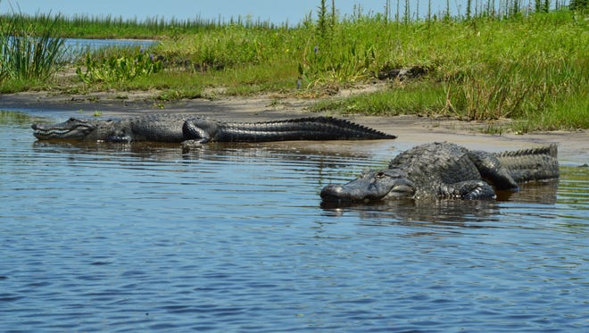 "Two alligators, along the shore of the St. Johns River, as seen from FunDay Tours'  ""Airboats and Alligators Tour."""