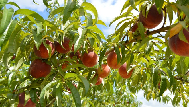 Peaches from Bennett Orchards.