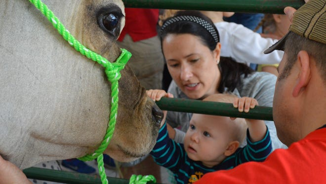 Get up close and person with a dairy cow at one of two petting areas during Cows on the Concourse, June 3, just off Capitol Square in Madison.