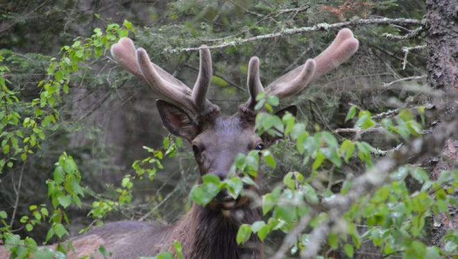 A bull elk is photographed near Clam Lake, Wisconsin.