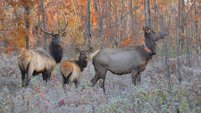 A bull, cow and calf elk browse through woods near Clam Lake, Wis.