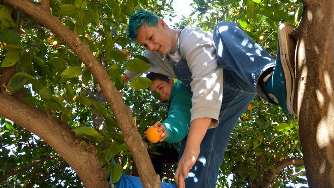 Mission Oak High School students Micah Reidmann and Jasmin Gonzalez climbed in an orange tree to pick oranges for the Harvesting Hope program.