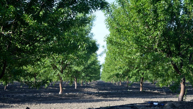 Third leaf almond trees grow in a west Tulare orchard on Avenue 208.  Almonds are just one of many commodities to receive a 115 percent tariff from China.