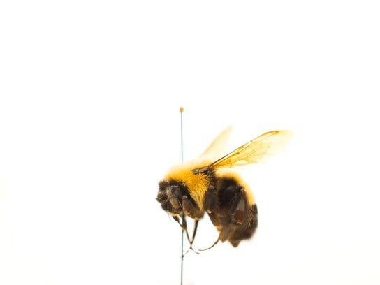 A rusty-patch bumblebee (Bombus affinis) from the 20th