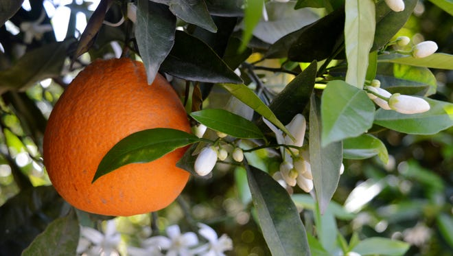Alexander Stoddart had a vision of a Pensacola teeming with citrus groves like South Florida, until Mother Nature intervened.