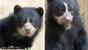 Left: Andean bear cub Mayni.   Right: Andean bear cub