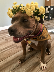 Penni's humans photographed her with a flower crown.
