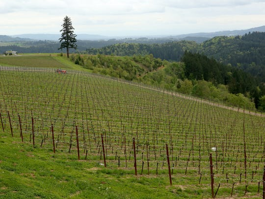 There are 40 acres of planted vines at Fairsing Vineyard in Yamhill.