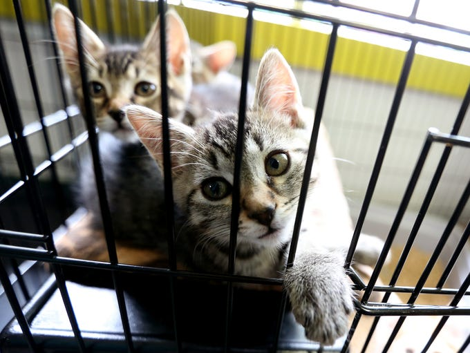 Kittens available for adoption at Salem Friends of