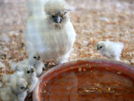 A silkie hen with eight chicks is shown at the Oregon