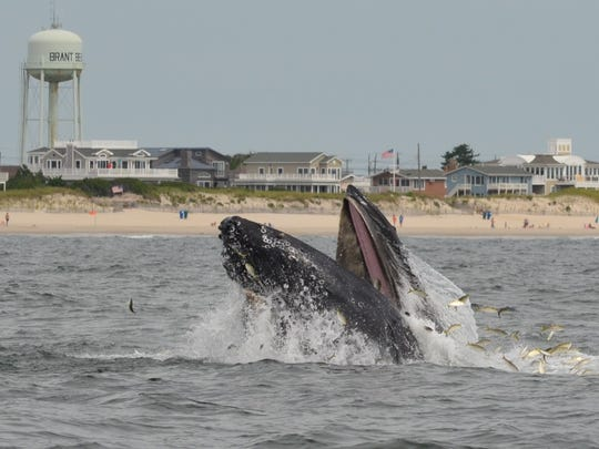 A humpback whale surfaces for a healthy snack of menhaden