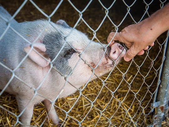 ARF director Vickie Bevans pets Lucy, one of two pigs