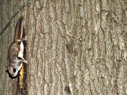 Southern flying squirrels are actually quite common in the Greater Cincinnati area.