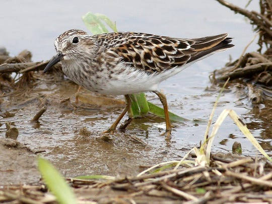 A least sandpiper was spotted by Carena Pooth and Herb Thompson on Strever Pond July 4. This photo was taken in a flooded cornfield in Amenia.