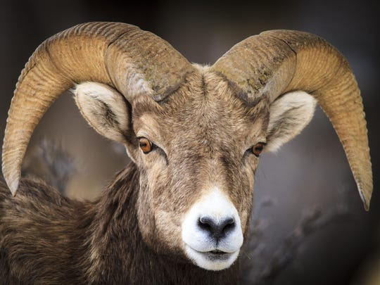 A bighorn sheep ram is on the lookout along the Rocky