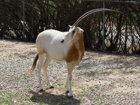 Arabian oryx can be seen at the Wildlife World Zoo