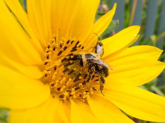 BUR 0827 flower bee 1