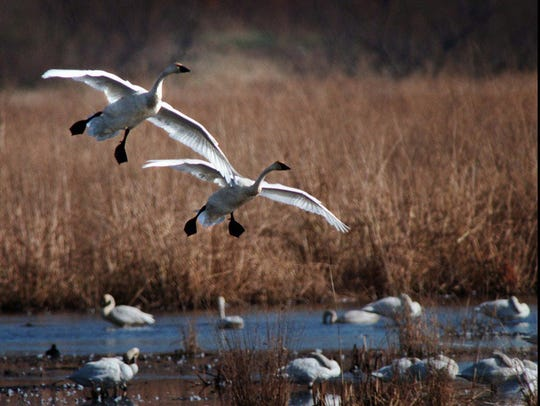 A pair of tundra swans glide in for a gentle landing