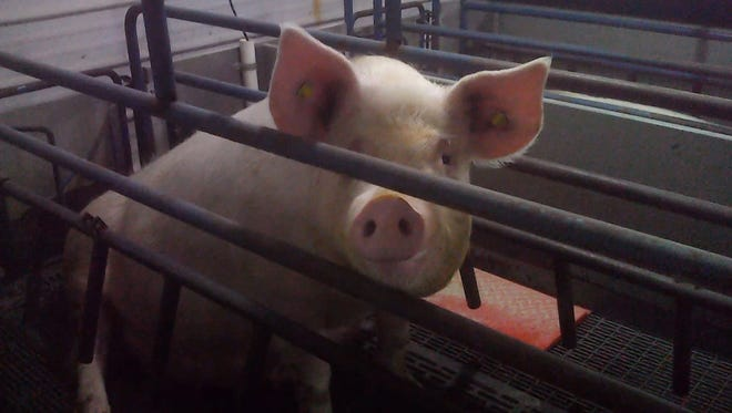 Mercy For Animals released hidden camera footage Tuesday, July 17, from an undercover investigation they say they conducted at a Tosh Farms facility in Franklin, Kentucky.