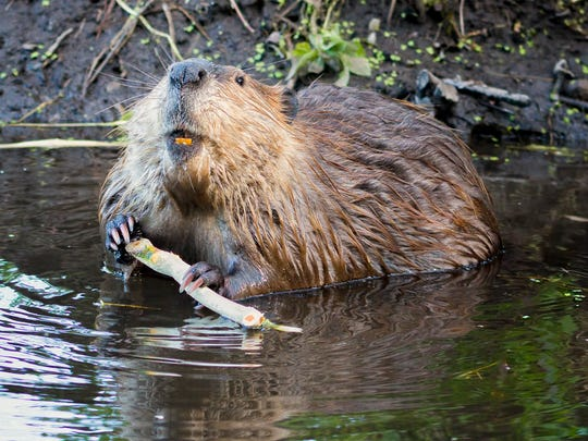 Adult beaver stripping bark off of a tree branch for dinner in Grand Teton National Park, WY