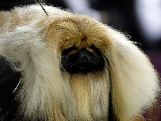 chuckie the pekingese advances at westminster dog show