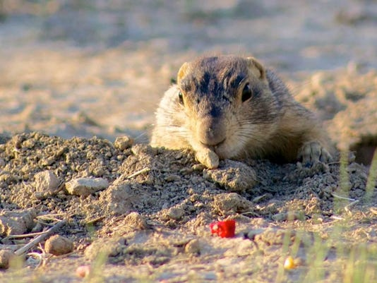 2 Secondry prairie dog vaccine bait