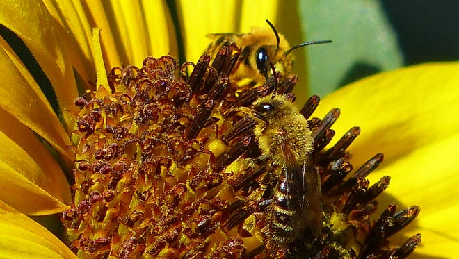 Two bees load up on nectar and pollen from a Ruidoso sunflower for the trip back to the hive.
