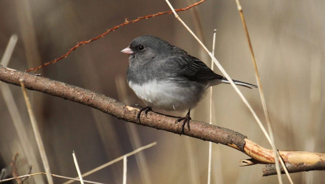 During the 2016 Great Backyard Bird Count, juncos were reported on more checklists than any other bird.