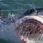 "A Great White shark emerges from the water in South Africa. Kaleo Roberson said the shark he attacked near Maui lunged at him, too. ""It was something you dream of on 'Shark Week,' "" the Maui News quoted him as saying. ""It was so close to me and the mouth was so open when it came up. It was in pure attack mode, and it was just right there. I was basically in its mouth."""