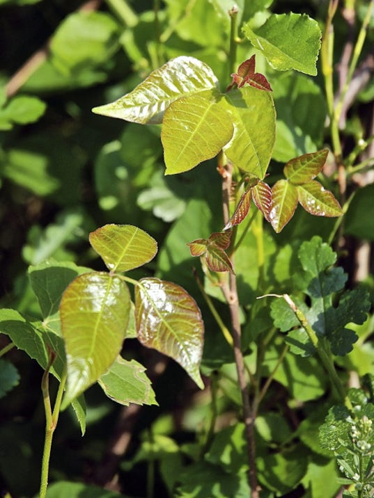 Poison ivy is a peril of the outdoor experience. Nature lovers can best avoid its itchy side effects by identifying the plant and keeping their distance.