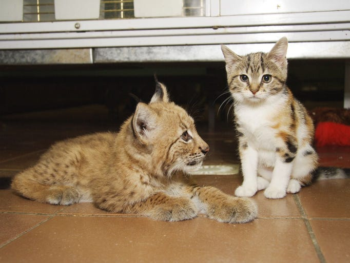 <p>The St. Petersburg Zoo in Russia shared cute images of an unlikely friendship between a lynx, Linda, and a domestic cat named Dusja.</p>