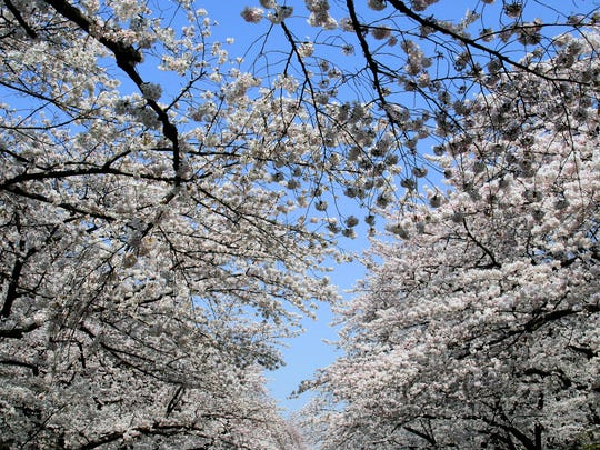 Ueno Park bustles with visitors and cherry blossoms