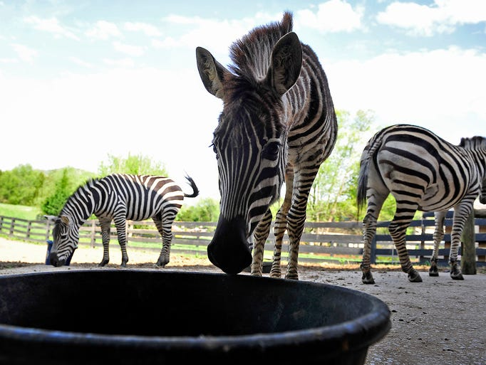 Three African zebras are seen at Donna Myers' farm on Clovercroft Road in Franklin, Tenn., Monday, April 21, 2014.