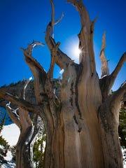 A bristlecone pine seen Saturday June 10th 2017, at Great Basin National Park near Baker NV.