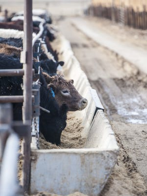 Cattle eat out of a feeding trough at North Montana Feeders in Choteau.  Today, fewer than 2,000 commercial feeders finish 87-percent of the cattle grown in the U.S.: TRIBUNE PHOTO/JULIA MOSS