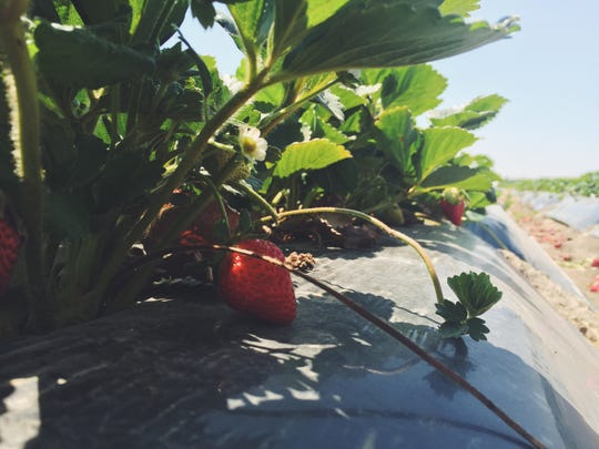 While his cherries come from Lodi, CA, Chao's strawberries come from directly behind his stand.