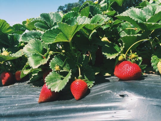 Jim Chao grows all of his own strawberries from his stand at the corner of County Center Dr. and Visalia Pkwy in Visalia, CA