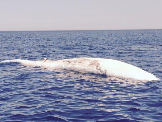 Dead whale Lovgren