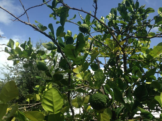 Kaffir limes growing at Pine Island Botanicals. Both the limes and the leaves are used in Thai cooking.