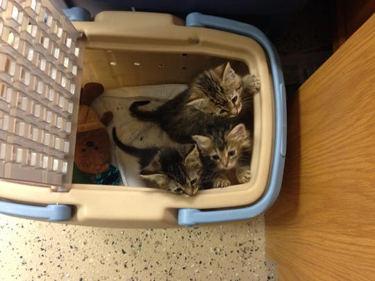 These kittens were born wild and are being socialized