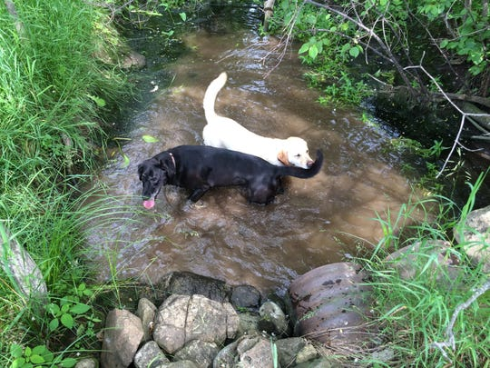 The Gaertner dogs, Inky and Queenie, play in Silver Creek, which flows through their property and meets the Ahnapee River.