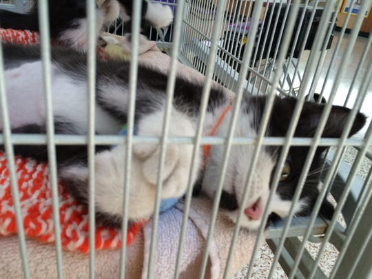 One of the displaced kittens playfully paws the bars