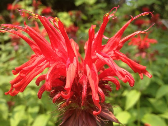 Bee balm, available in many beautiful colors, does