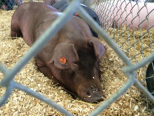 A hog rests in the swine barn at the Door County Fairgrounds.