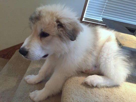 Linus, a 13-week-old Great Pyrenees at his West Salem home on Aug. 10, 2015, is expected to become a familiar face at Salem Saturday Market.
