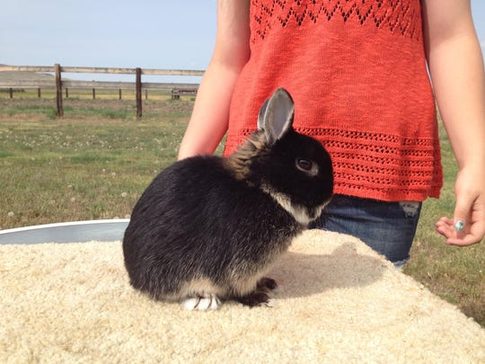 When showing a rabbit, Becca Gerard said you have to